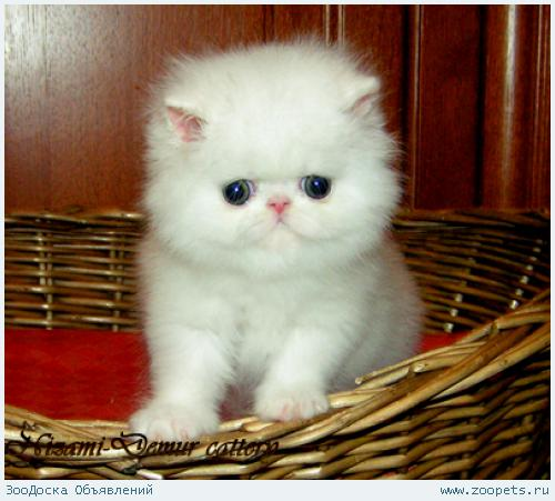котята персы картинки