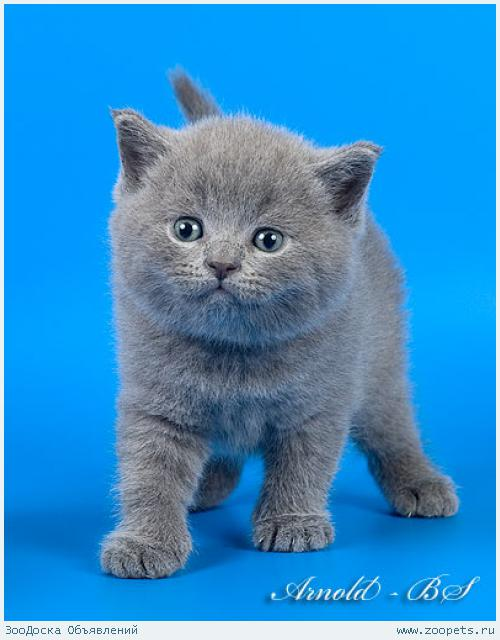 британский котенок лиловый фото #13