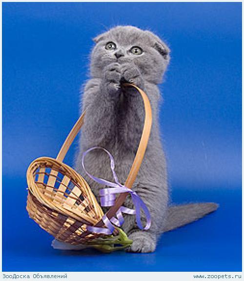 котенок породой шотландский вислоухий фото #13
