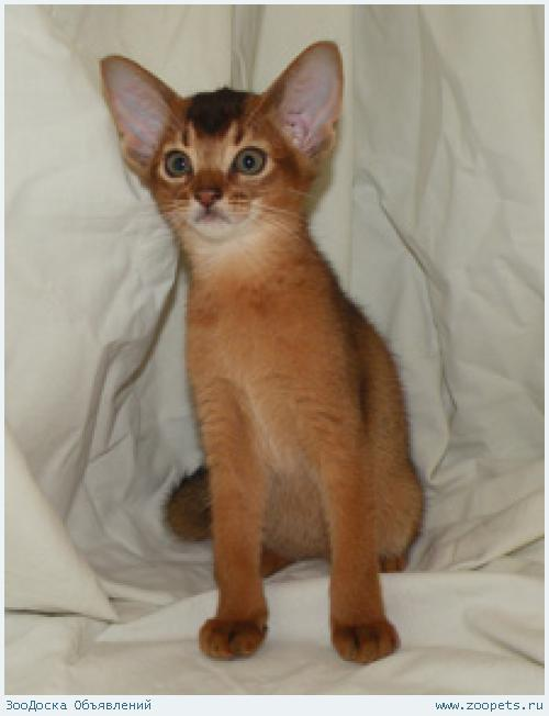 Абиссинские котята для дома и разведения