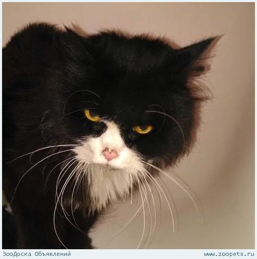 Найден кот черно белый пушистый