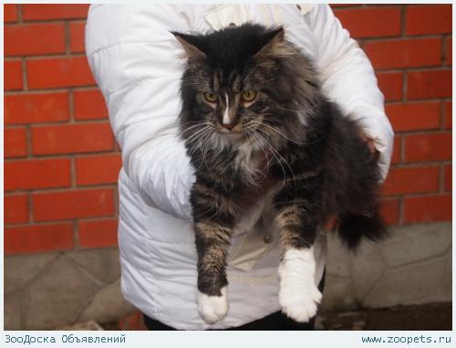 Кот мейн кун приглашает на вязку