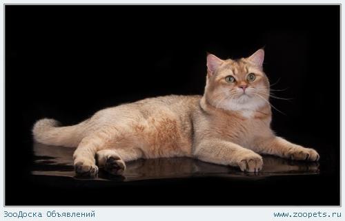 Вязка с золотым британским котом