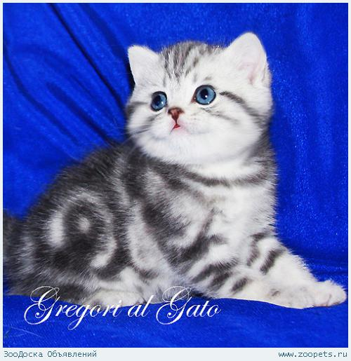 Британские серебристые клубные котята