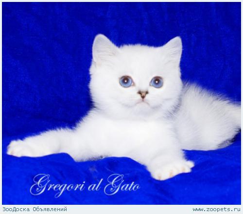 Британские синеглазые котята серебристые шиншиллы шоу-класс