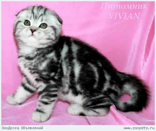 Шотландские вислоухие котята черный мрамор.
