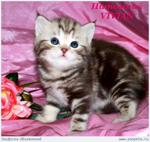 Британские котята шоколадный мрамор на серебре.