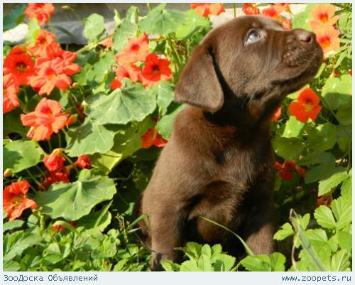 Шоколадные и черные щенки Лабрадора!
