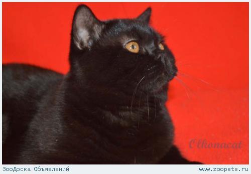 Клубные шотландские черные котята.