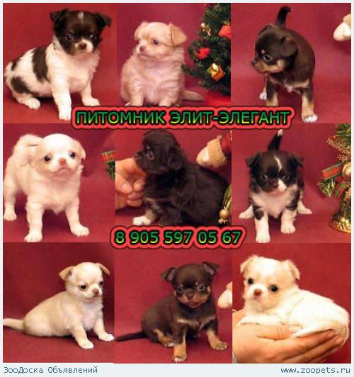 Чихуахуа щенки, эксклюзивно, модно, по лучшим ценам