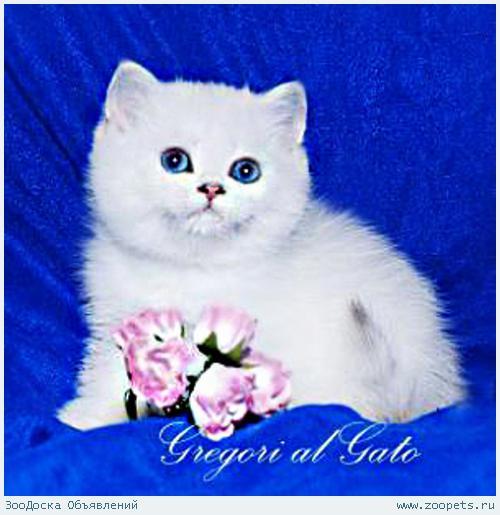 Британские шиншиллы котята от Чемпионов фиалковые глазки