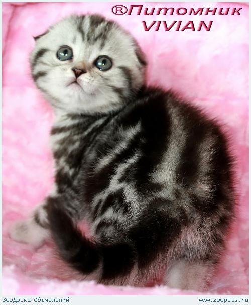 Шотландские вислоухие котята черный мрамор на серебре.