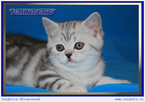 Шотландские котята мраморных окрасов