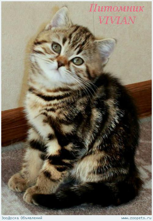 Британские котята черный мрамор из питомника.