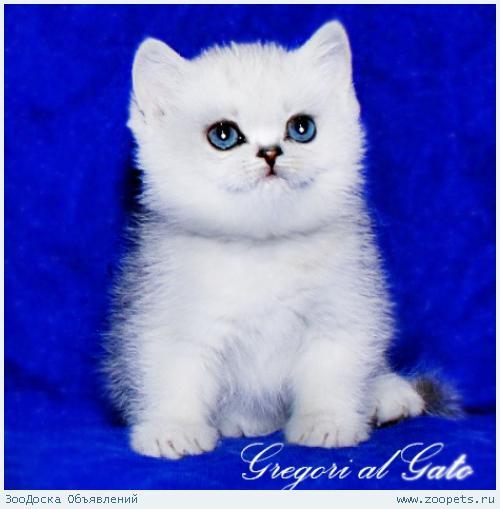 Британские шиншиллы котята с изумрудными глазами шоу-класс