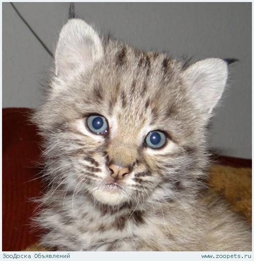 Продам котят Канадской и Европейской рыси.В хорошие руки