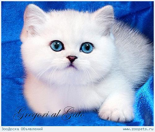 Британские котята шиншиллы с изумрудными и голубыми глазками