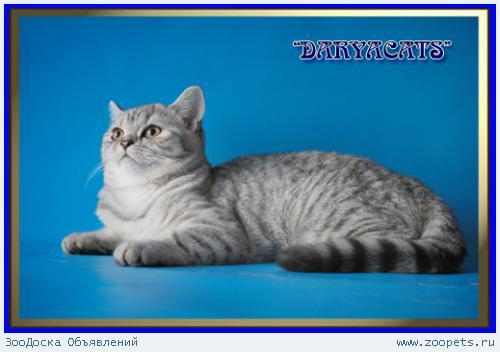 Шотландские котята из питомника Daryacats