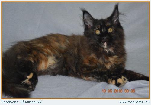 Великолепные котята мейн-кун из питомника