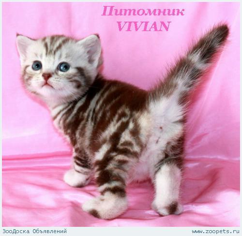 Британские клубные котята шоколадный мрамор на серебре.