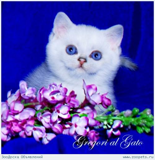 Белоснежные британские синеглазые котята шиншиллы
