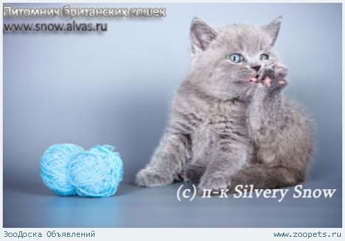 Британские котята лучшая порода для дома.