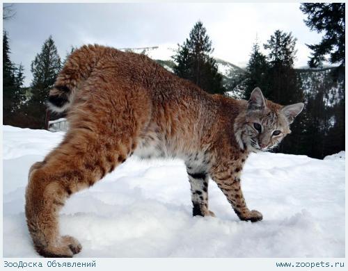 Продажа котят красивой Канадской и Европейской рыси