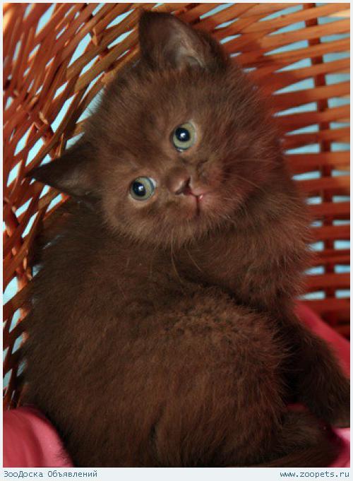 Британские клубные шоколадные котята.