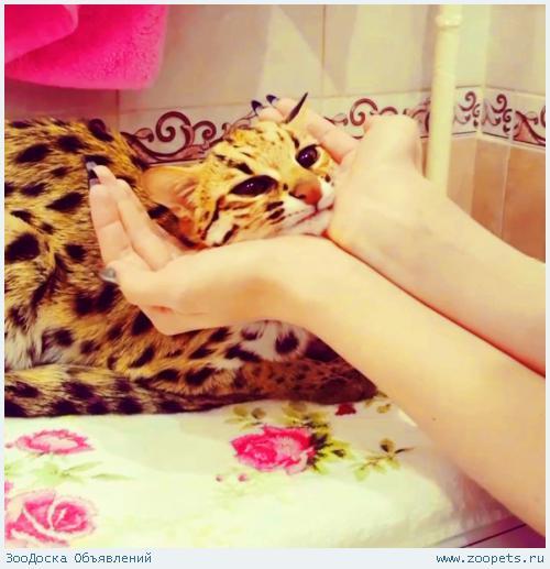 -азиатские леопардовые кошки