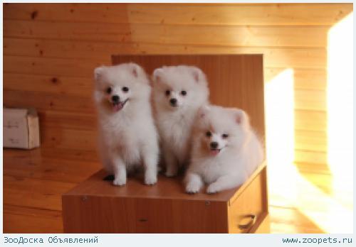 Белоснежные качественные щенки шпица девочки 3,5 мес