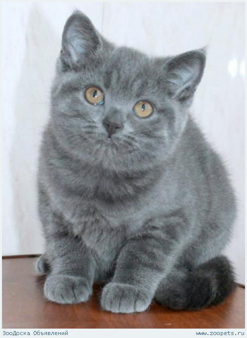 Британская голубая девочка из питомника.
