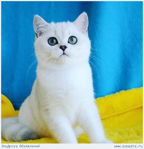 Британские котята продажа
