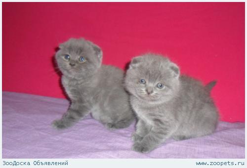 Шотландские котята даром