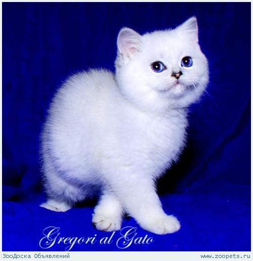 Британские котята шиншилла с голубыми глазами