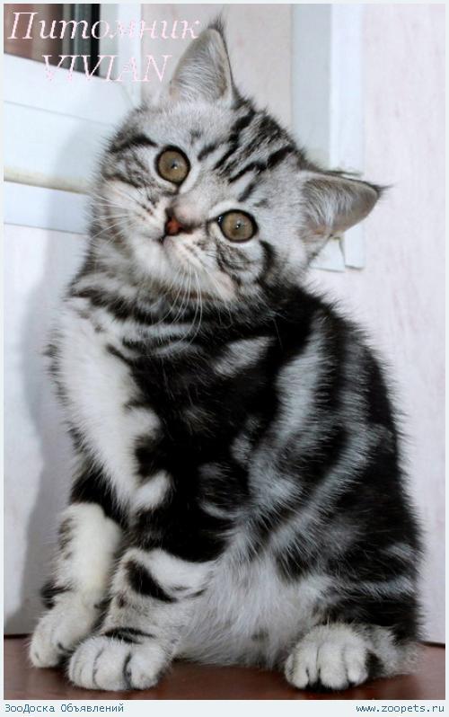 Британские котята вискас из питомника.