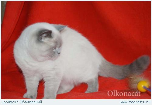 Плюшевые чистокровные шотландские котята блю-поинт окраса.