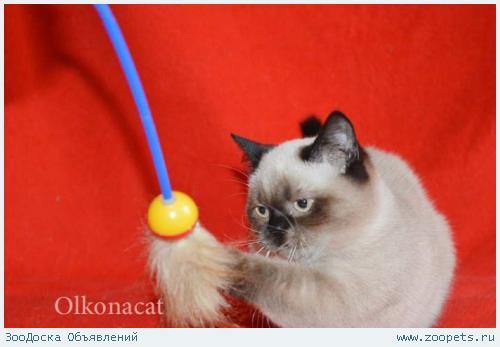 Шикарные шотландские котята сил-поинт окраса.