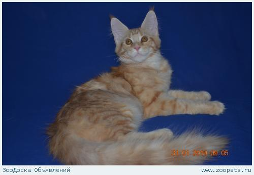 Котята мейн-кун для любителей и знатоков из питомника