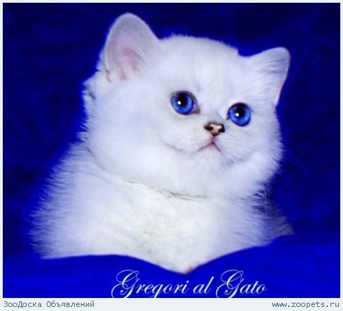 Британские котята шиншиллы с сапфировыми и голубыми глазками