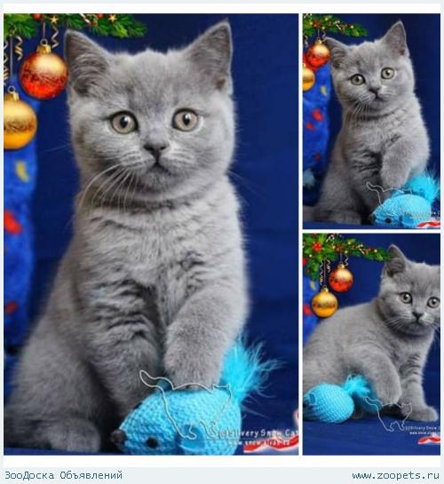 Только голубые плюшевые британские котята