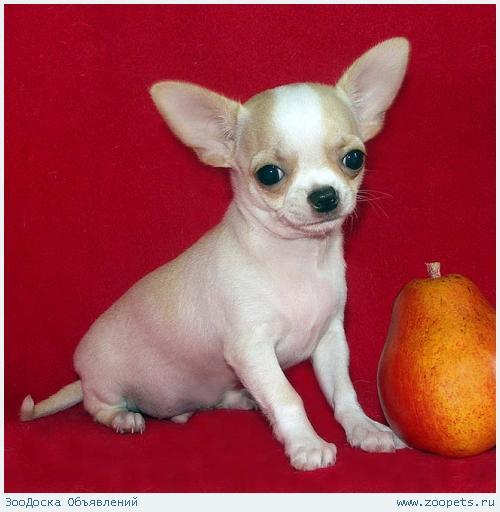 Яркие, нарядные  щенки по разумной цене