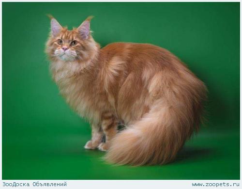 Котенок Мейн-кун, рыжий красавец.