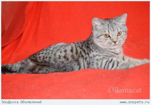 Шотландские котята пятнистого окраса.