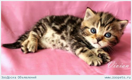 Британские котята черный мрамор и вискас.