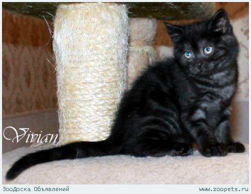 Британские котята черный дым из питомника.