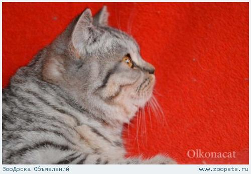 Котята-подростки шотландские пятнистого окраса.