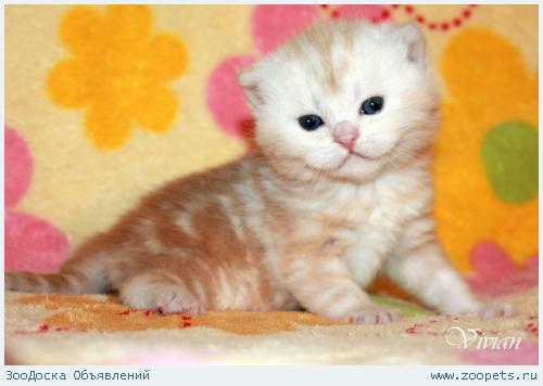 Британский котик красный мрамор из питомника.