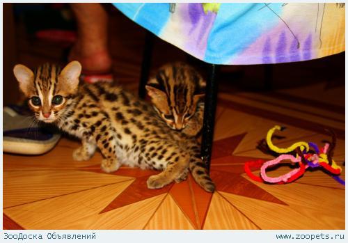 Продам котятАзиатскоголеопардовогокота.алк тeл-89879560680