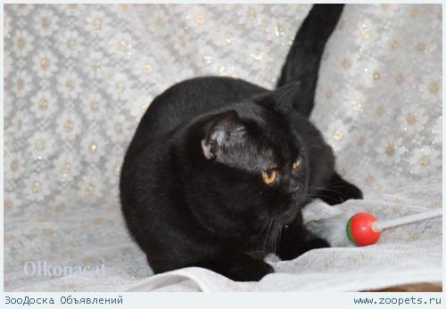 Котик черный шотландский в добрые руки.
