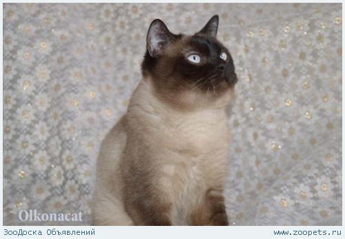 Молодой шотландский кот окраса колор-поинт в добрые руки.